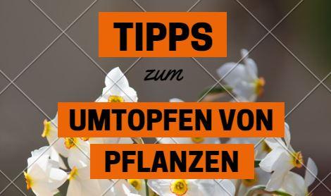 Pflanzen Richtig Umtopfen ? Hammerkauf Blog Tipps Umtopfen Zimmerpflanzen